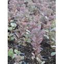Sedum cauticolum, 6 Pflanzen im 5/6 cm Topf