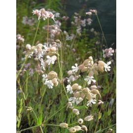 Silene vulgaris - Taubenkropf-Leimkraut, 6 Pflanzen im 5/6 cm Topf