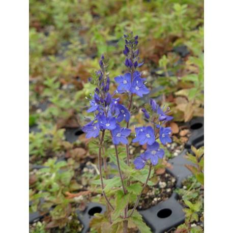 Veronica teucrium Königsblau - Großer Ehrenpreis, 50 Pflanzen im 5/6 cm Topf