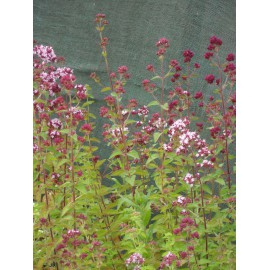 Origanum vulgare - Wilder Majoran, 50 Pflanzen im 5/6 cm Topf