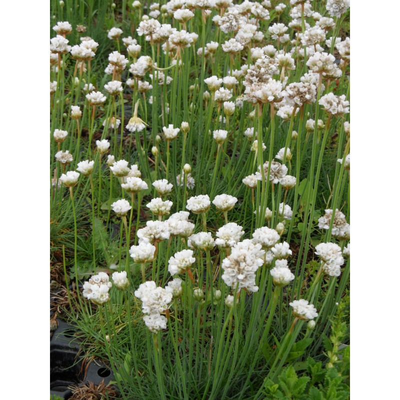 armeria maritima grasnelke in wei 50 pflanzen im 5 6 cm topf dachstauden. Black Bedroom Furniture Sets. Home Design Ideas