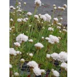 Armeria maritima - Grasnelke in weiß, 50 Pflanzen im 5/6 cm Topf