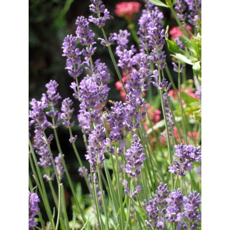 lavandula angustifolia lavendel 6 pflanzen im 5 6 cm topf dachstauden. Black Bedroom Furniture Sets. Home Design Ideas