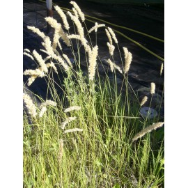 Melica ciliata - Wimper-Perlgras, 6 Pflanzen im 5/6 cm Topf