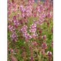 Thymus pulegioides - Arznei-Thymian, 50 Pflanzen im 5/6 cm Topf