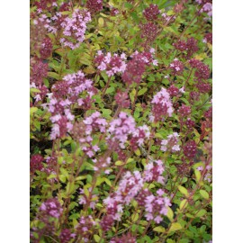 Thymus serpyllum - Feldthymian, 50 Pflanzen im 5/6 cm Topf