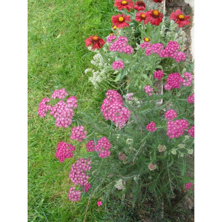 Achillea millefolium Kirschkönigin - Garten-Schafgarbe, 6 Pflanzen im 5/6 cm Topf