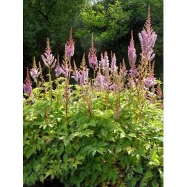 Astilbe chinensis var. pumila - Zwergprachtspiere, 3 Pflanzen im 7/6 cm Topf
