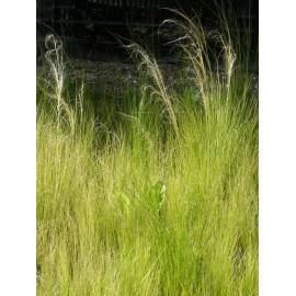 Stipa tenuissima - Zartes Federgras, 6 Pflanzen im 5/6 cm Topf