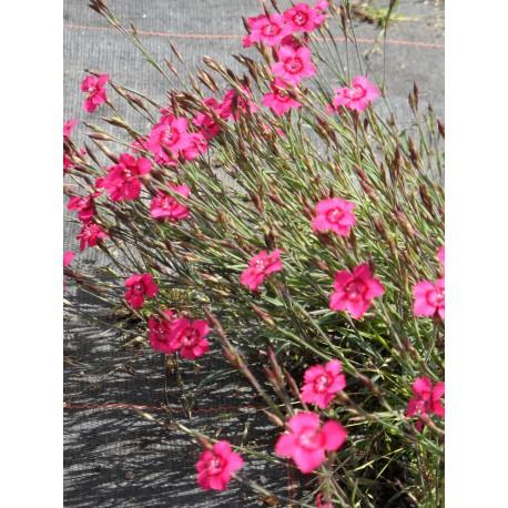 Heidenelke 6 Pflanzen im 5//6 cm Topf Dianthus deltoides Leuchtfunk