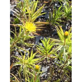 Inula ensifolia Compacta - Zwerg-Alant, 6 Pflanzen im 5/6 cm Topf