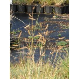 Bouteloua gracilis - Moskitogras, 50 Pflanzen im 5/6 cm Topf