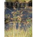 Bouteloua gracilis - Moskitogras, 6 Pflanzen im 5/6 cm Topf