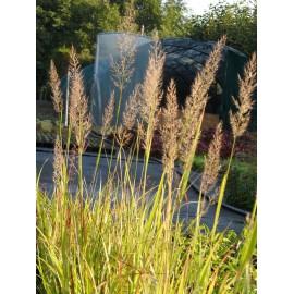Calamagrostis brachytricha - Diamant-Reitgras, 3 Pflanzen im 7/6 cm Topf