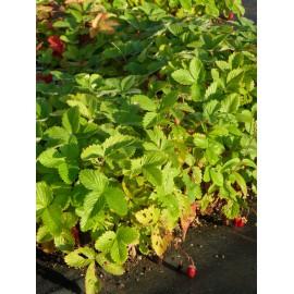 Fragaria vesca var. semperflorens Verbesserte Rügen - Monats-Erdbeere, 50 Pflanzen im 5/6 cm Topf