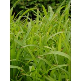 Luzula sylvatica - Wald-Hainsimse, 3 Pflanzen im 7/6 cm Topf