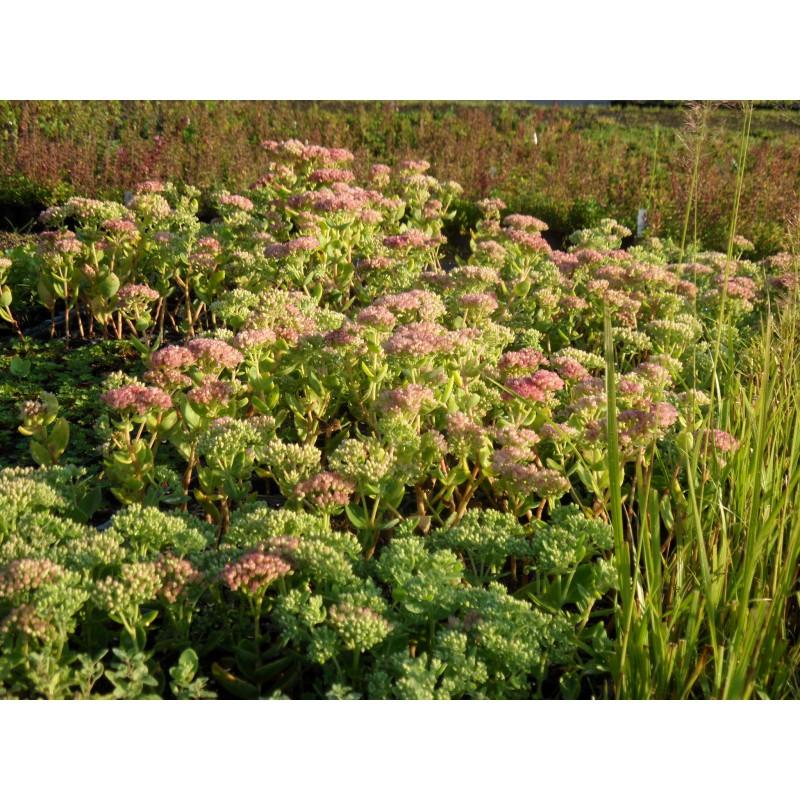 sedum telephium herbstfreude 6 pflanzen im 5 6 cm topf dachstauden. Black Bedroom Furniture Sets. Home Design Ideas
