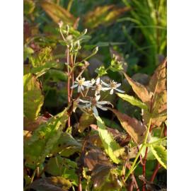 Aster divaricatus Tradescant - Wald-Aster, 3 Pflanzen im 7/6 cm Topf