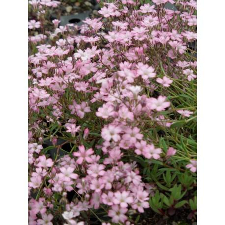 Pflanzensortiment Niedrige Blütenstauden für 4 m²