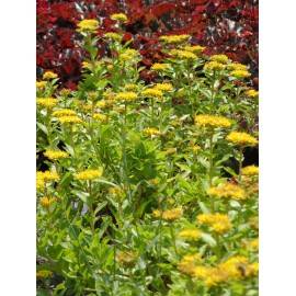 Sedum aizoon, 50 Pflanzen im 5/6 cm Topf