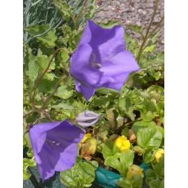 Campanula carpatica - Karpatenglockenblume, 50 Pflanzen im 5/6 cm Topf