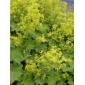 Alchemilla mollis - Frauenmantel, 3 Pflanzen im 7/6 cm Topf