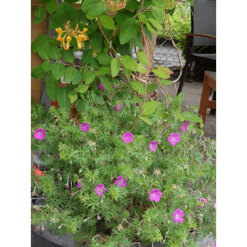 geranium sanguineum blut storchschnabel 3 pflanzen im 7 6 cm topf dachstauden. Black Bedroom Furniture Sets. Home Design Ideas