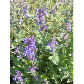 Nepeta x faassenii - Katzenminze, 3 Pflanzen