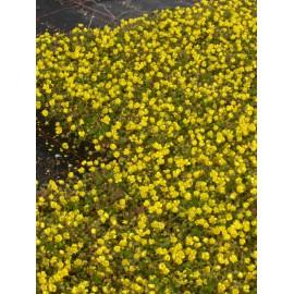 Potentilla neumanniana - Fingerkraut, 3 Pflanzen im 7/6 cm Topf