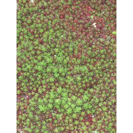 Sedum album Coral Carpet, 3 Pflanzen im 7/6 cm Topf