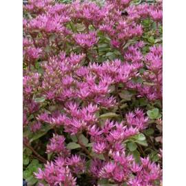 Sedum spurium Purpurteppich, 3 Pflanzen