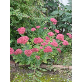Sedum telephium Herbstfreude, 3 Pflanzen