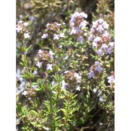 Thymus vulgaris - Gewürz-Thymian, 3 Pflanzen im 7/6 cm Topf