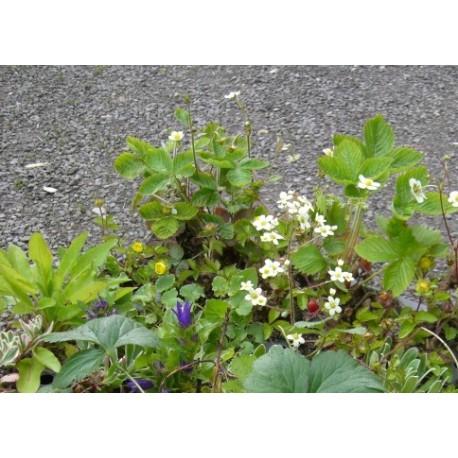 Pflanzensortiment Halbschatten III für 4 m²