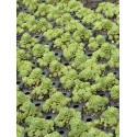 Sedum pachyclados, 6 Pflanzen im 5/6 cm Topf
