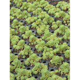 Sedum pachyclados, 50 Pflanzen im 5/6 cm Topf