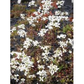 Arabis procurrens - Schaumkresse, 6 Pflanzen im 5/6 cm Topf