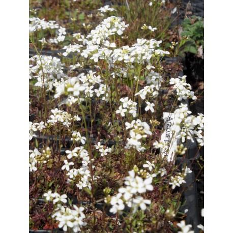 Arabis procurrens - Schaumkresse, 3 Pflanzen im 7/6 cm Topf