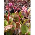 Bergenia cordifolia - Riesen-Steinbrech, 3 Pflanzen im 7/6 cm Topf