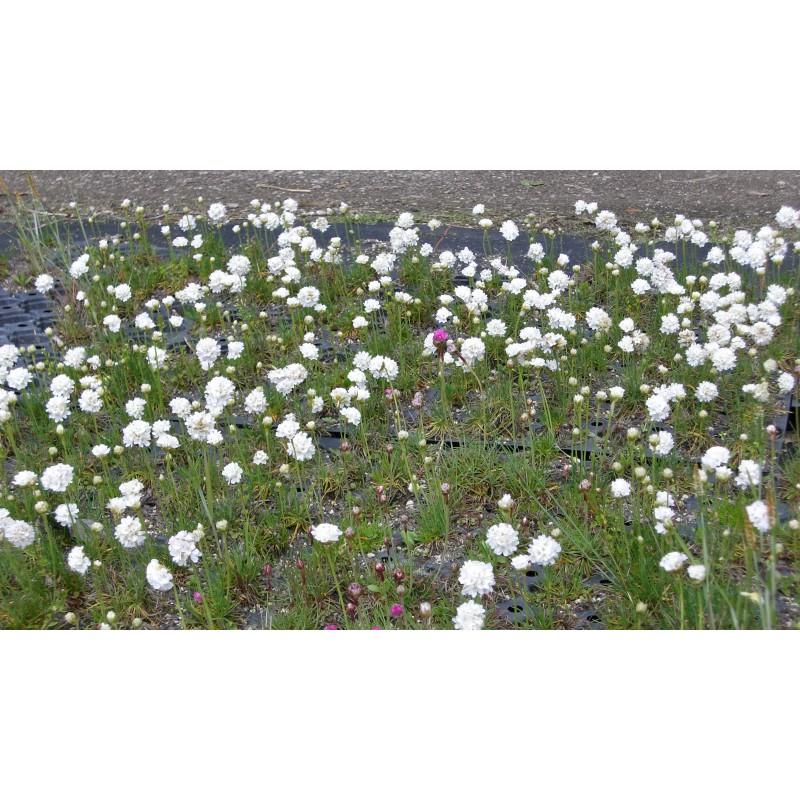 armeria maritima grasnelke in wei 6 pflanzen im 5 6 cm topf dachstauden. Black Bedroom Furniture Sets. Home Design Ideas
