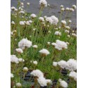 Armeria maritima - Grasnelke in weiß, 6 Pflanzen im 5/6 cm Topf