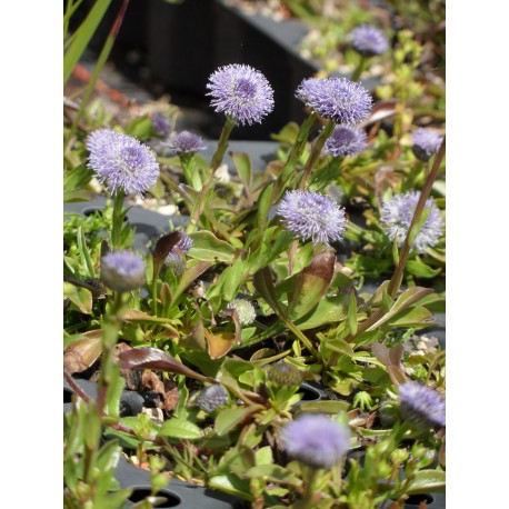 Globularia nudicaulis - Schaft-Kugelblume, 50 Pflanzen im 5/6 cm Topf