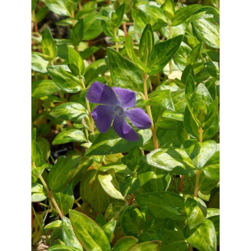 Gräser Immergrün vinca major reticulata großblättriges immergrün 3 pflanzen im 7 6