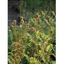 Sanguisorba minor - Kleiner Wiesenknopf, 6 Pflanzen im 5/6 cm Topf