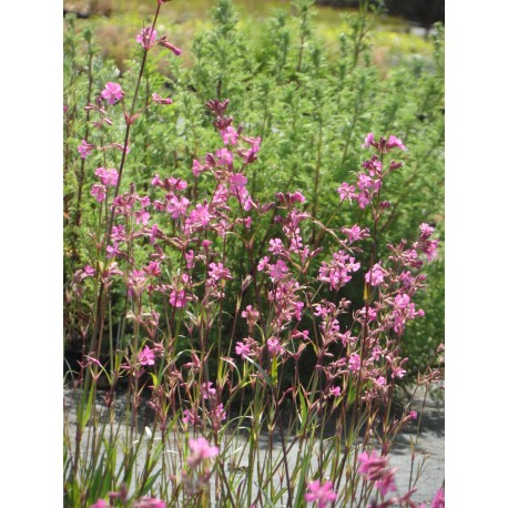 Lychnis viscaria - Pechnelke, 6 Pflanzen im 5/6 cm Topf