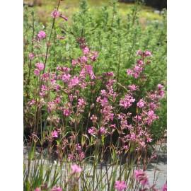 Lychnis viscaria - Pechnelke, 50 Pflanzen im 5/6 cm Topf
