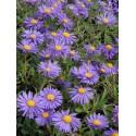 Aster alpinus Dunkle Schöne - Frühlingsaster blauviolett, 3 Pflanzen