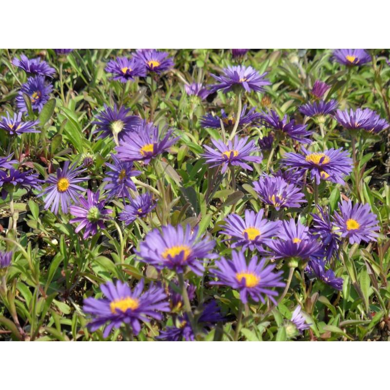aster alpinus dunkle schöne - frühlingsaster blauviolett, 3,