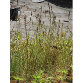 Festuca ovina - Schafschwingel, 50 Pflanzen im 5/6 cm Topf