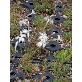 Dianthus arenarius - Sand-Nelke, 50 Pflanzen im 5/6 cm Topf